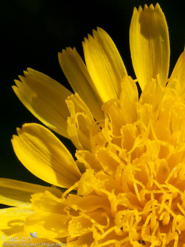 Sonchus maritimus - Flor (close-up) | Miguel Porto; CC BY-NC 4.0