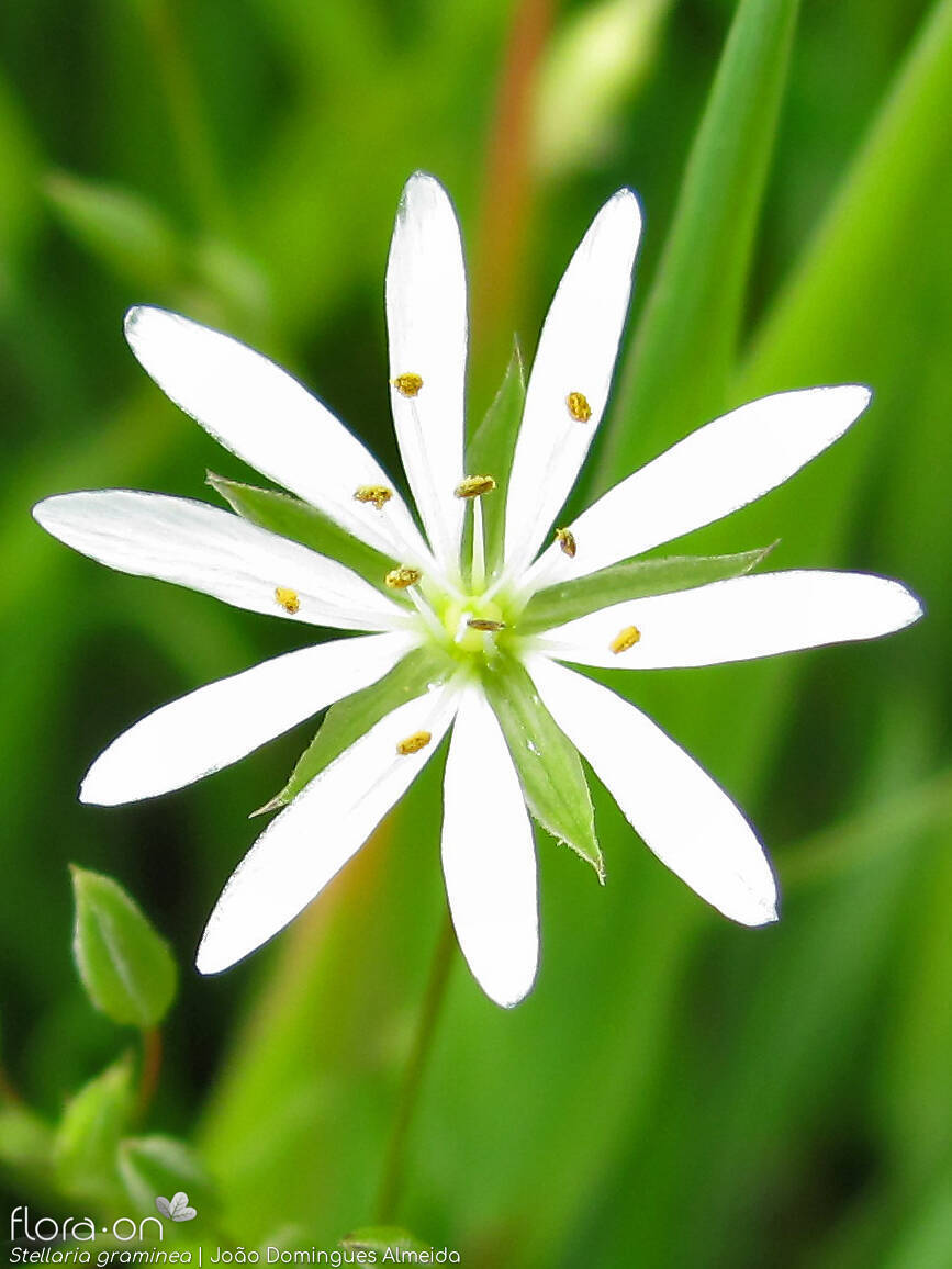 Stellaria graminea - Flor (close-up) | João D. Almeida; CC BY-NC 4.0
