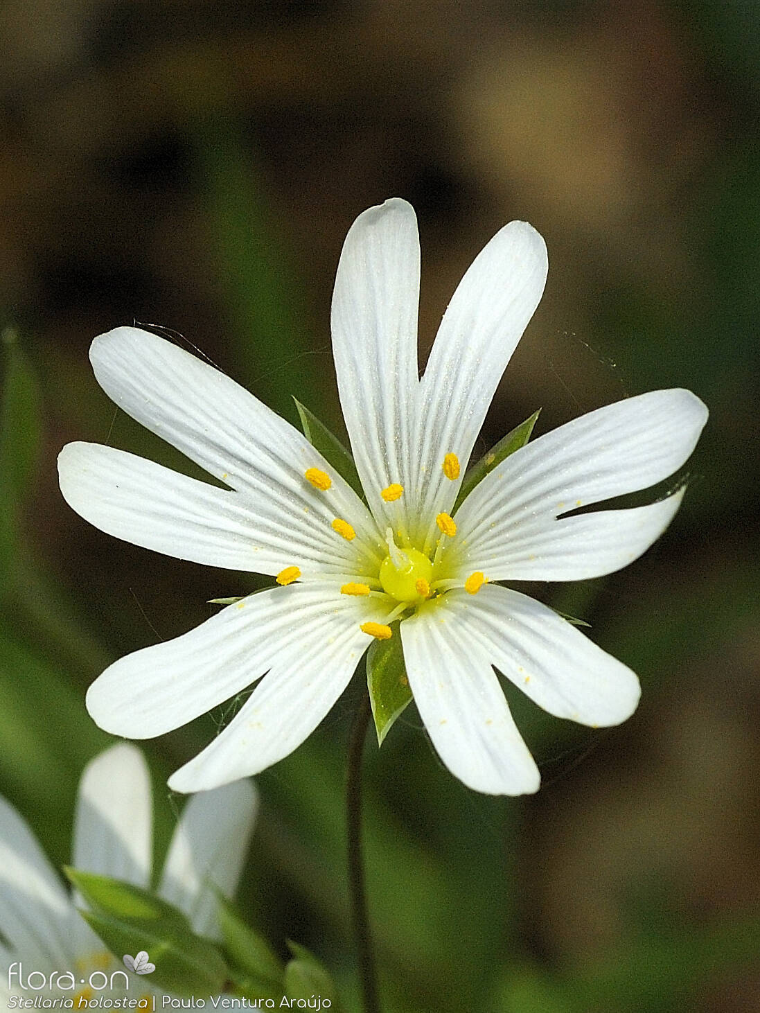 Stellaria holostea - Flor (close-up) | Paulo Ventura Araújo; CC BY-NC 4.0