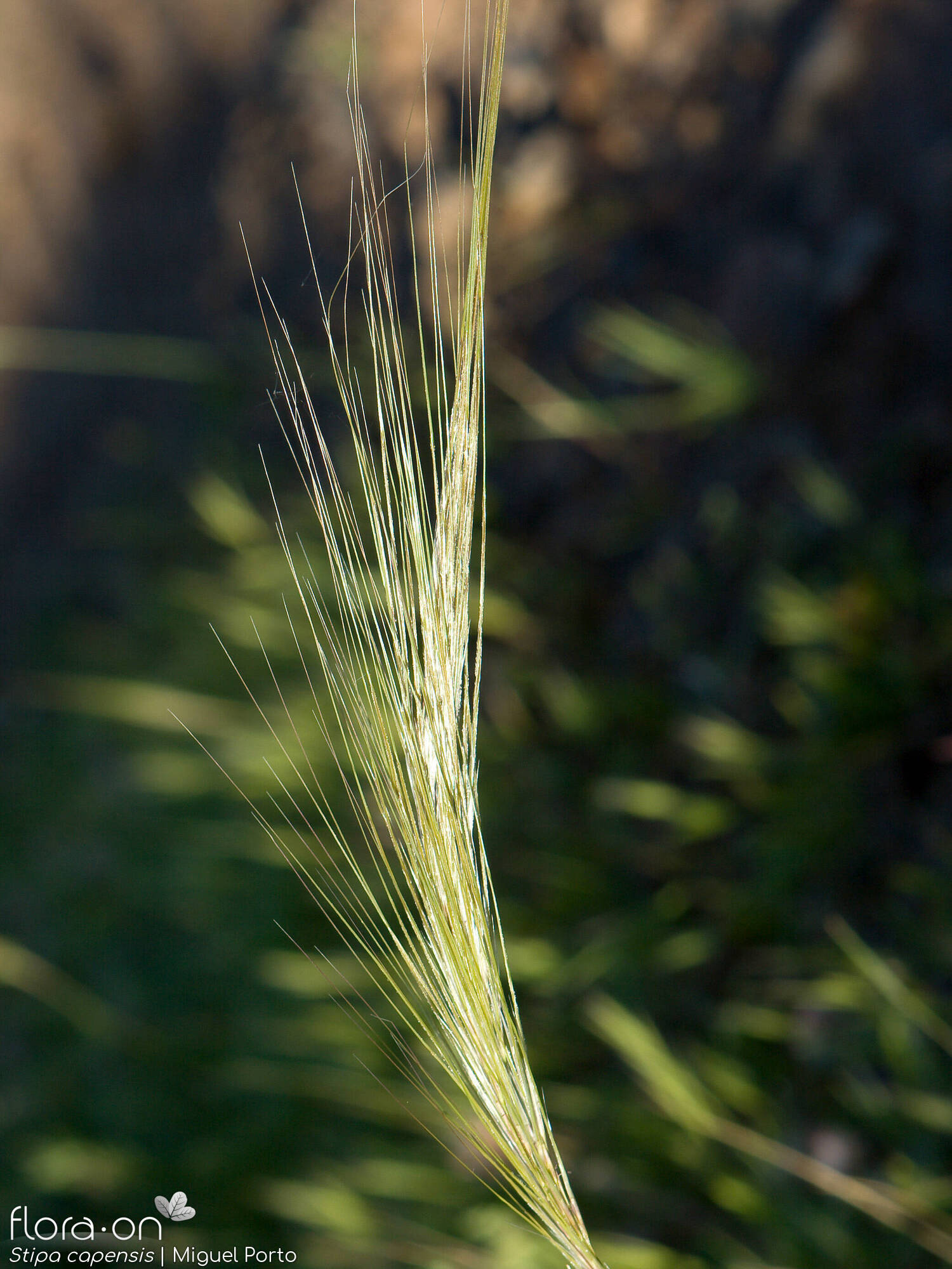 Stipa capensis