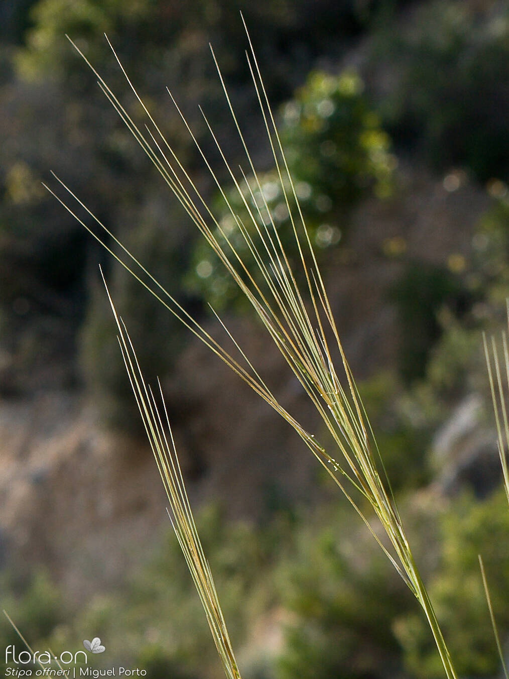 Stipa offneri - Flor (geral) | Miguel Porto; CC BY-NC 4.0