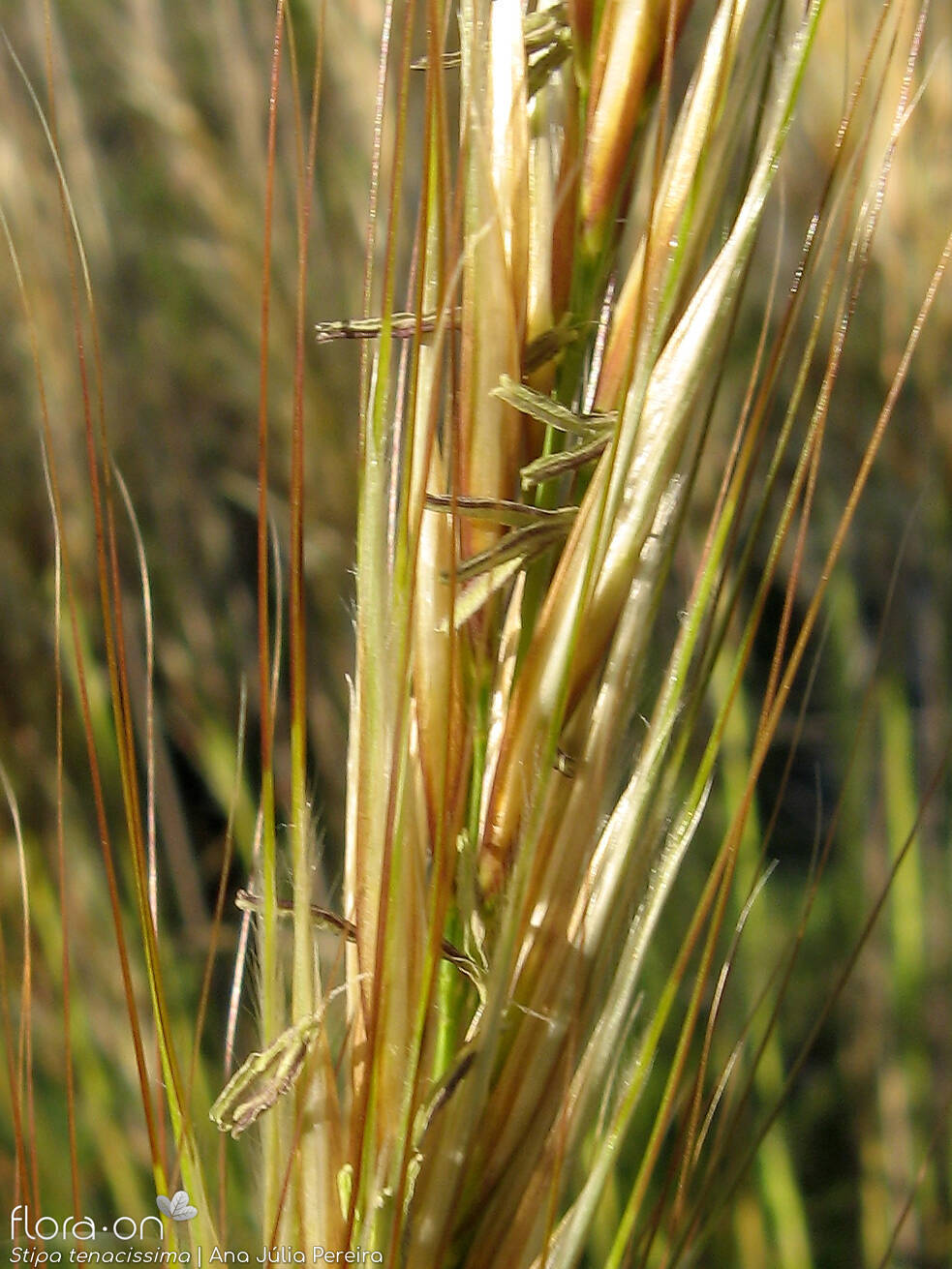 Stipa tenacissima - Flor (close-up) | Ana Júlia Pereira; CC BY-NC 4.0