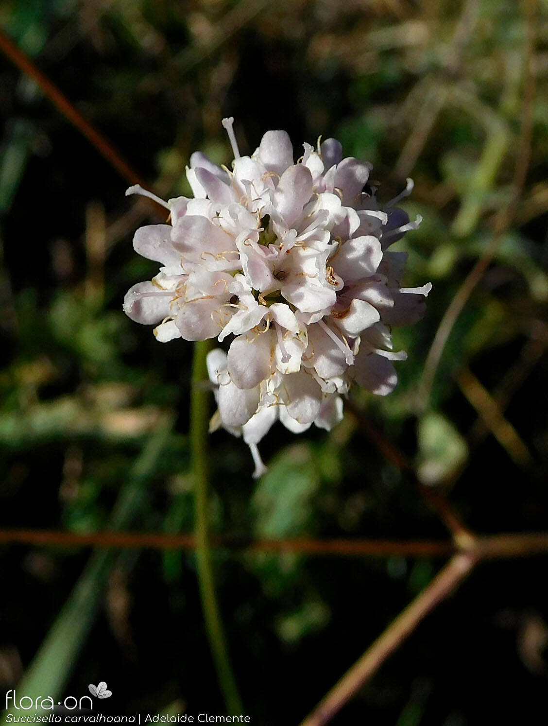 Succisella carvalhoana - Flor (close-up) | Adelaide Clemente; CC BY-NC 4.0