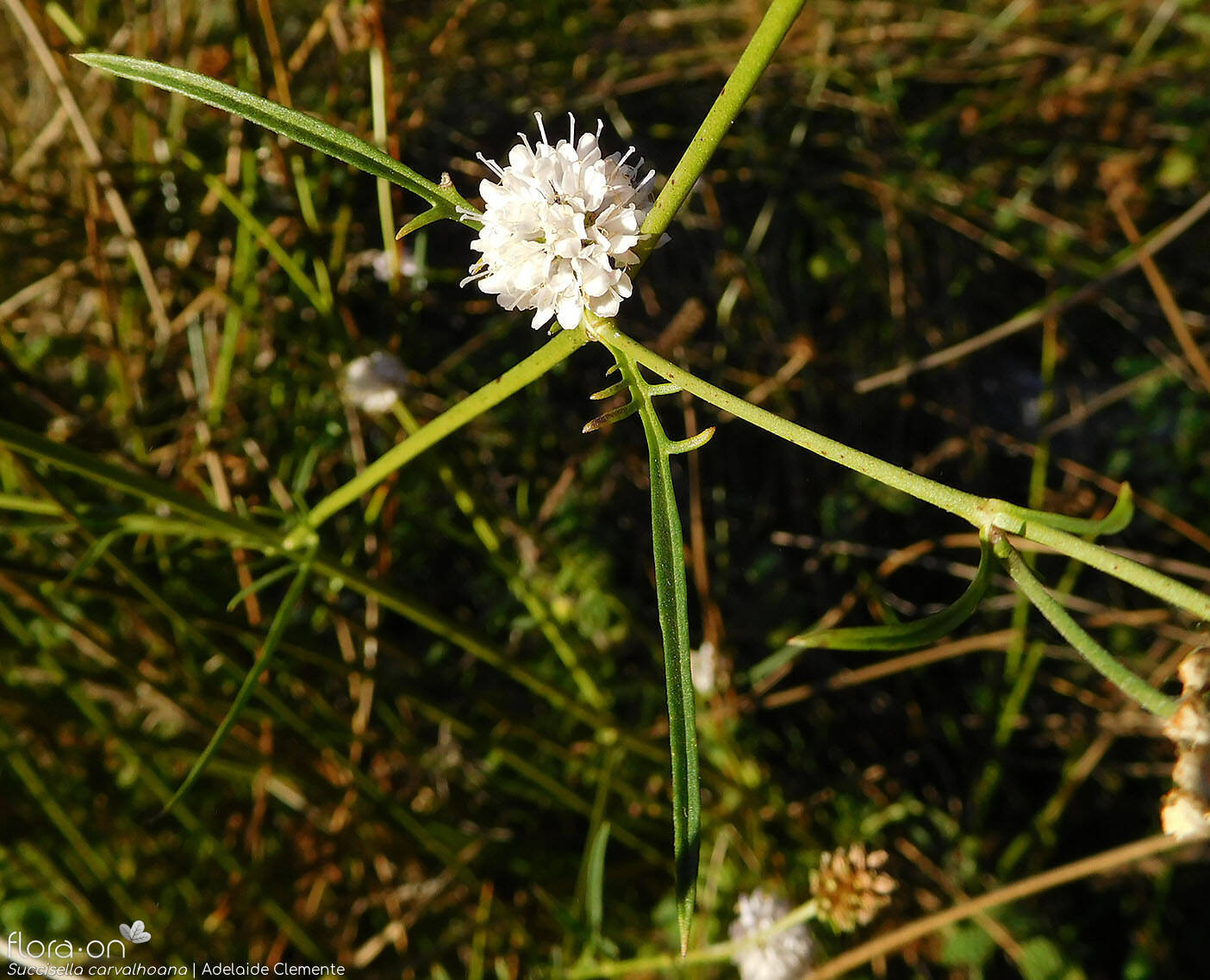 Succisella carvalhoana - Flor (geral) | Adelaide Clemente; CC BY-NC 4.0