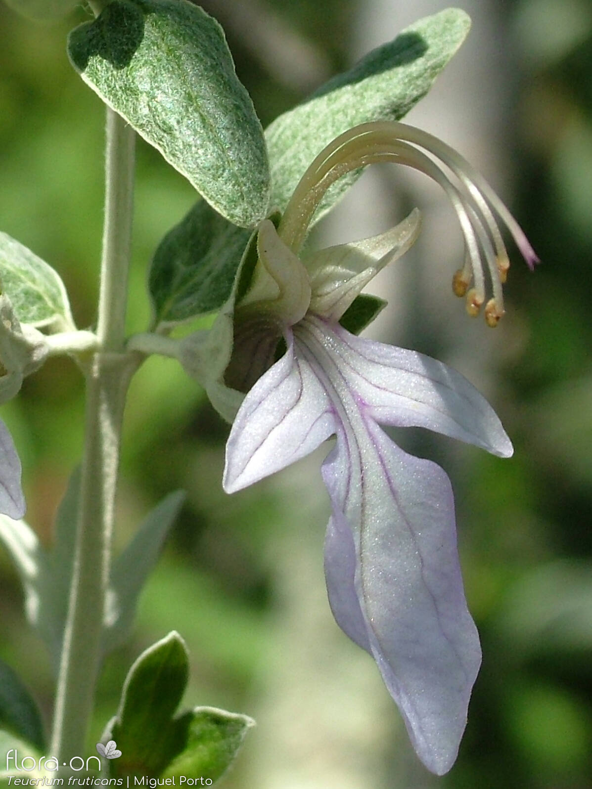 Teucrium fruticans - Flor (close-up) | Miguel Porto; CC BY-NC 4.0