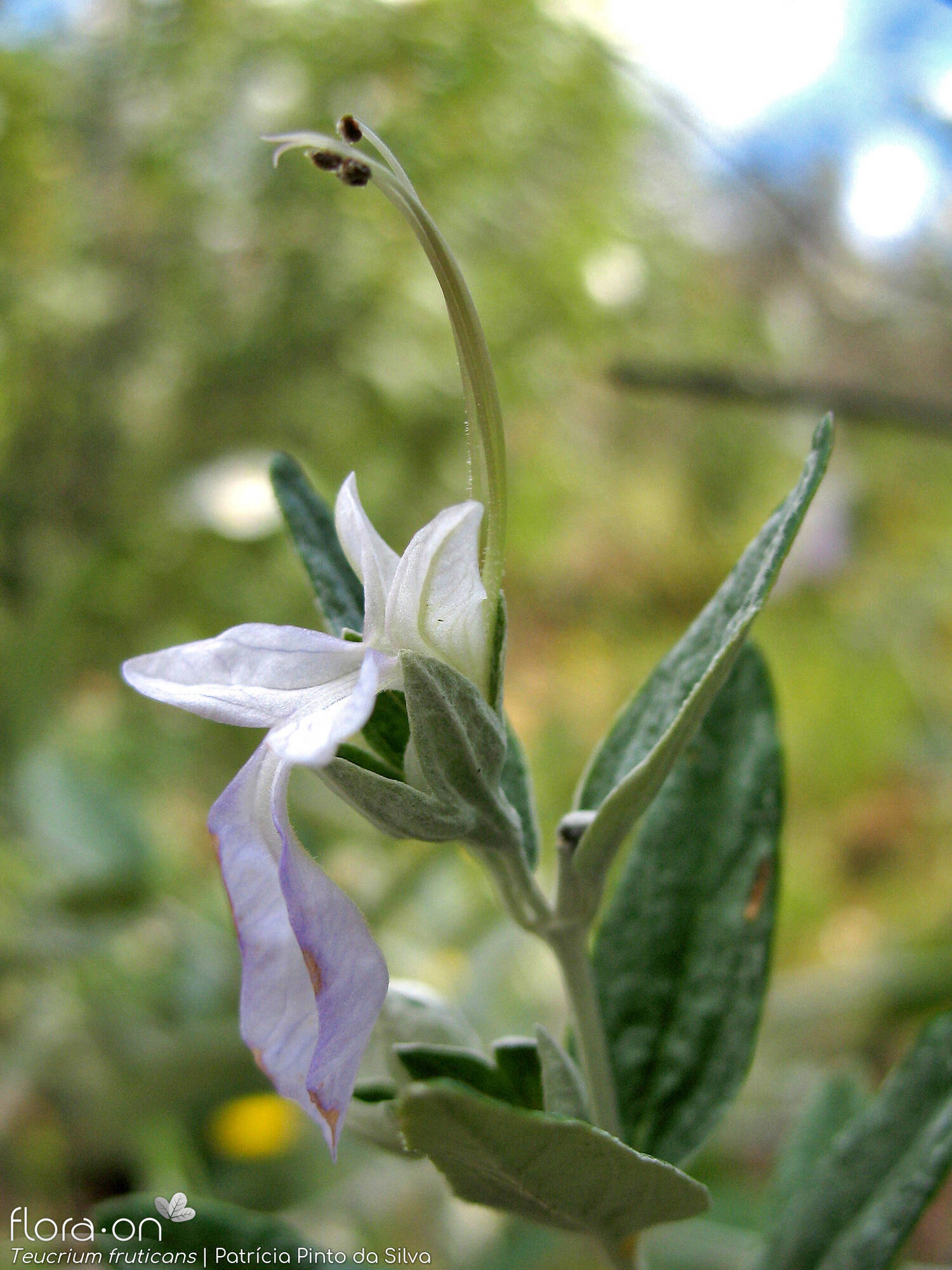 Teucrium fruticans - Flor (close-up) | Patrícia Pinto Silva; CC BY-NC 4.0