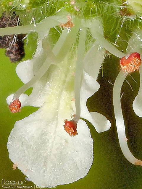 Teucrium haenseleri - Flor (close-up) | Miguel Porto; CC BY-NC 4.0