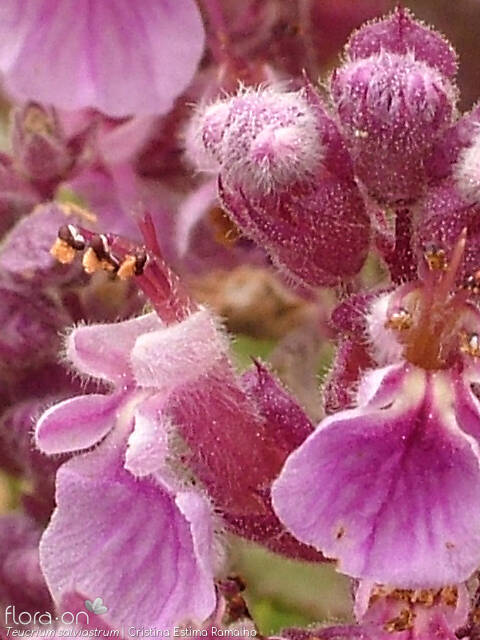 Teucrium salviastrum - Flor (close-up) | Cristina Estima Ramalho; CC BY-NC 4.0
