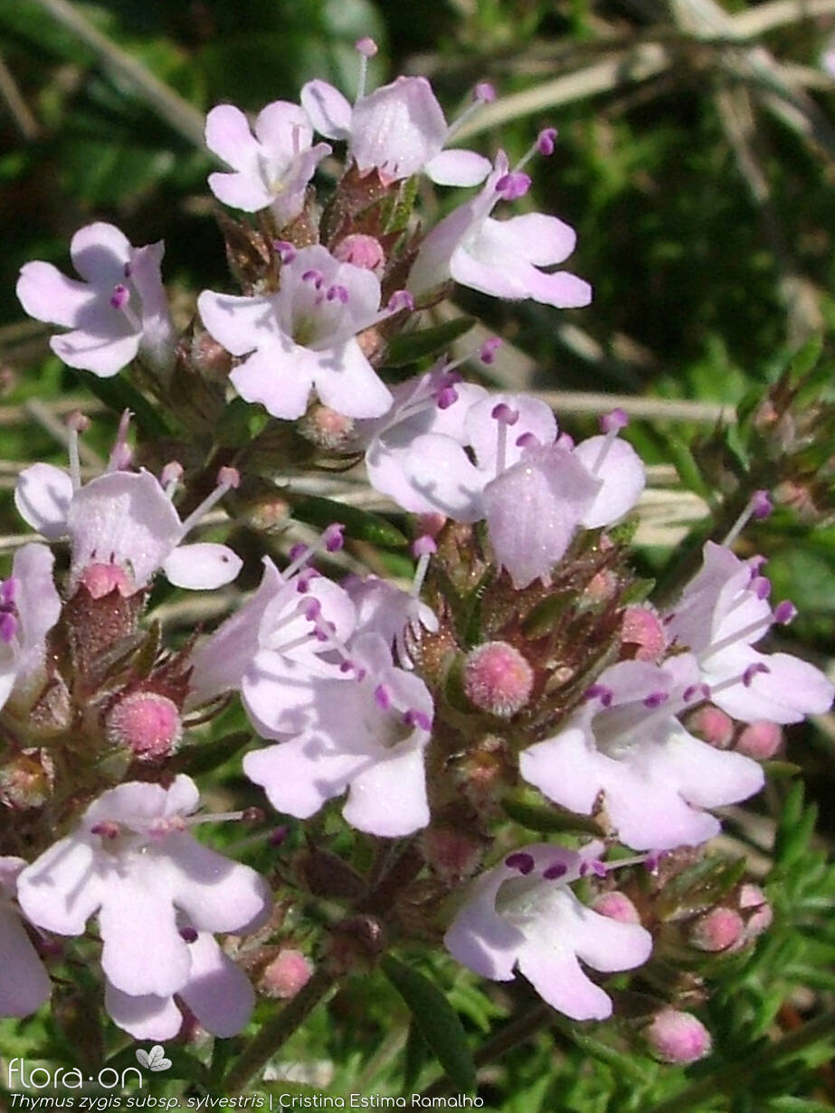 Thymus zygis sylvestris - Flor (close-up) | Cristina Estima Ramalho; CC BY-NC 4.0