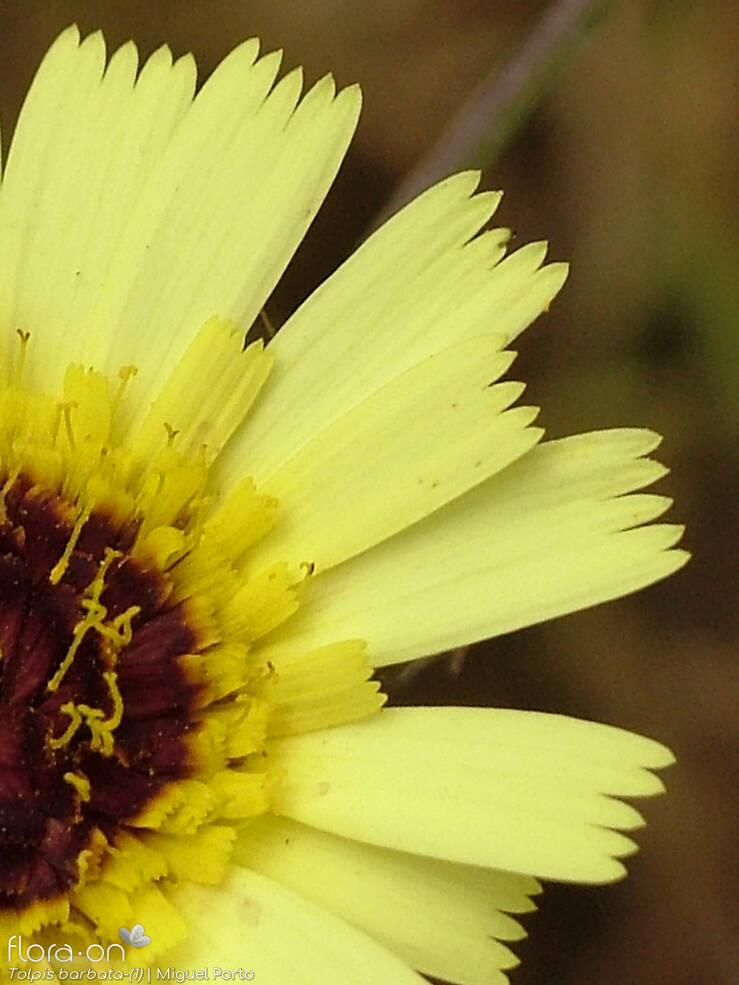 Tolpis barbata - Flor (close-up) | Miguel Porto; CC BY-NC 4.0