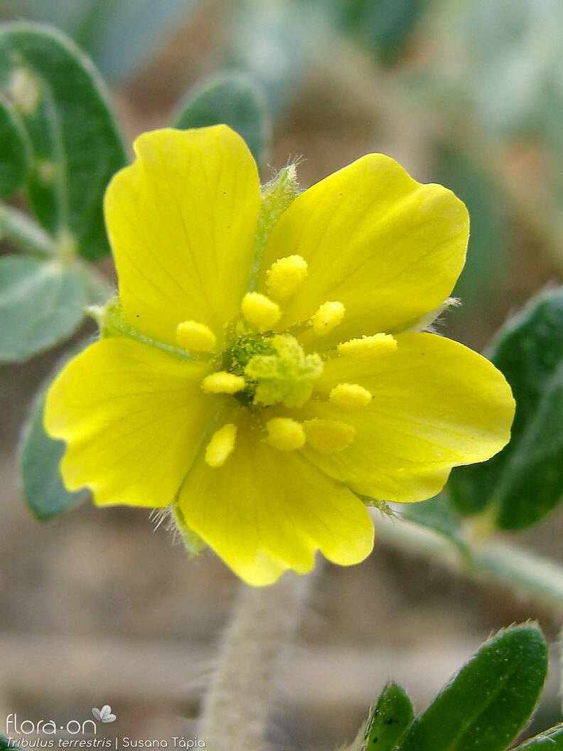 Tribulus terrestris - Flor (close-up) | Susana Tápia; CC BY-NC 4.0