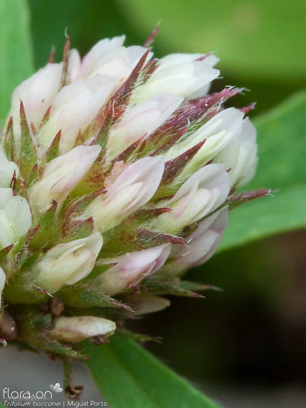 Trifolium bocconei - Flor (close-up) | Miguel Porto; CC BY-NC 4.0