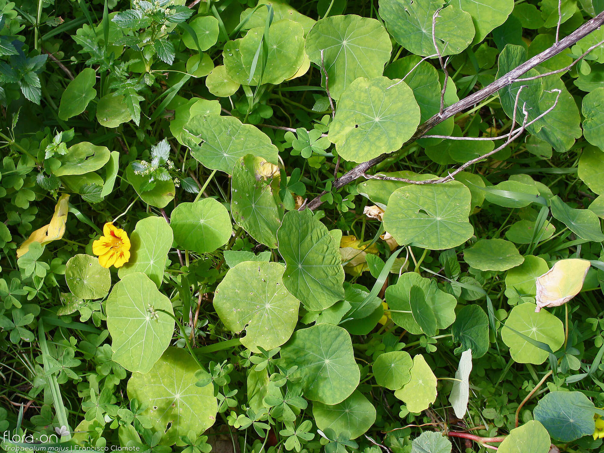 Tropaeolum majus - Hábito | Francisco Clamote; CC BY-NC 4.0
