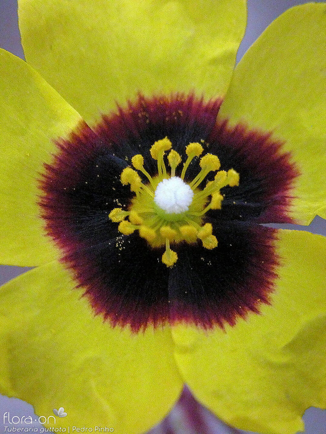 Tuberaria guttata - Flor (close-up) | Pedro Pinho; CC BY-NC 4.0