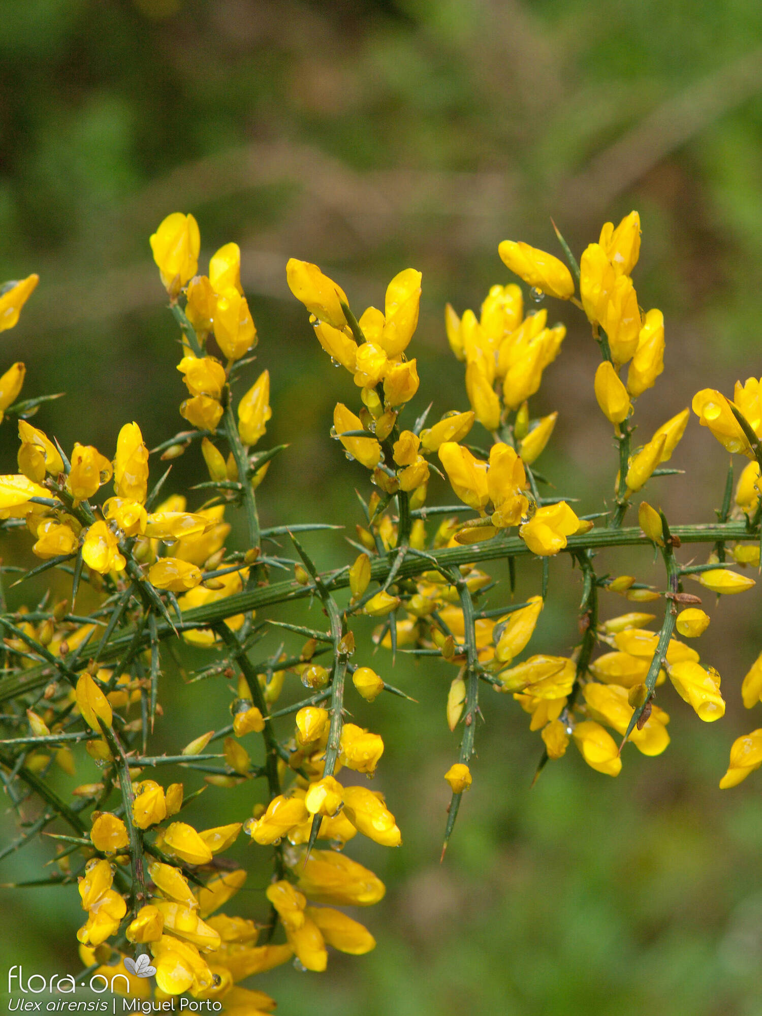 Ulex airensis - Flor (geral) | Miguel Porto; CC BY-NC 4.0