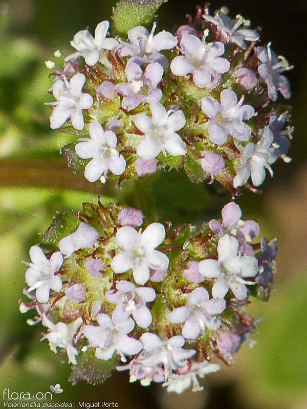 Valerianella discoidea - Flor (close-up) | Miguel Porto; CC BY-NC 4.0