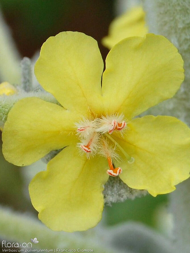 Verbascum pulverulentum - Flor (close-up) | Francisco Clamote; CC BY-NC 4.0