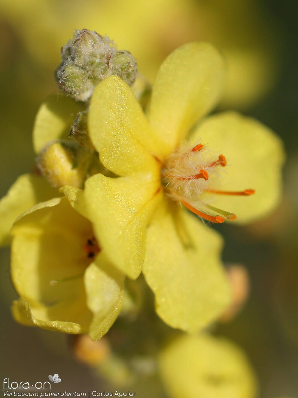 Verbascum pulverulentum - Flor (close-up) | Carlos Aguiar; CC BY-NC 4.0
