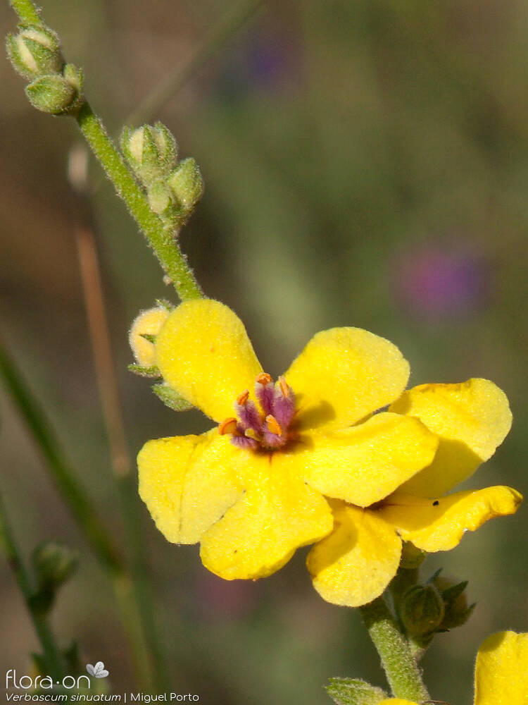 Verbascum sinuatum - Flor (close-up) | Miguel Porto; CC BY-NC 4.0