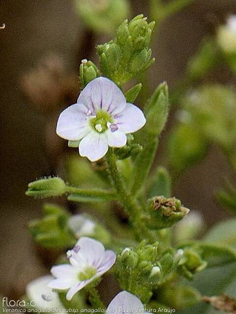 Veronica anagalloides anagalloides - Flor (close-up) | Paulo Ventura Araújo; CC BY-NC 4.0