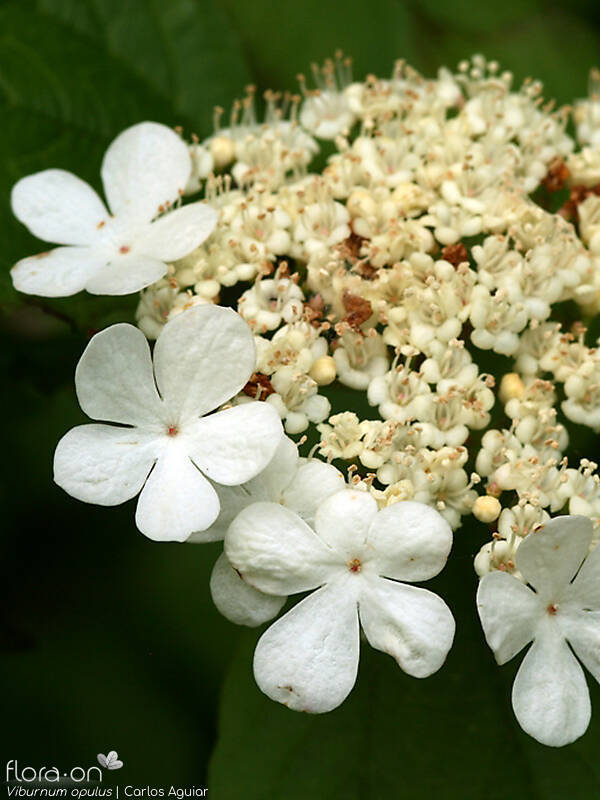 Viburnum opulus - Flor (close-up) | Carlos Aguiar; CC BY-NC 4.0