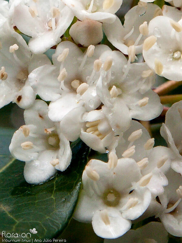 Viburnum tinus - Flor (close-up) | Ana Júlia Pereira; CC BY-NC 4.0