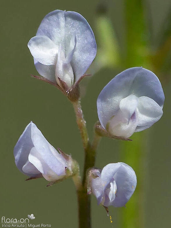 Vicia hirsuta - Flor (close-up) | Miguel Porto; CC BY-NC 4.0