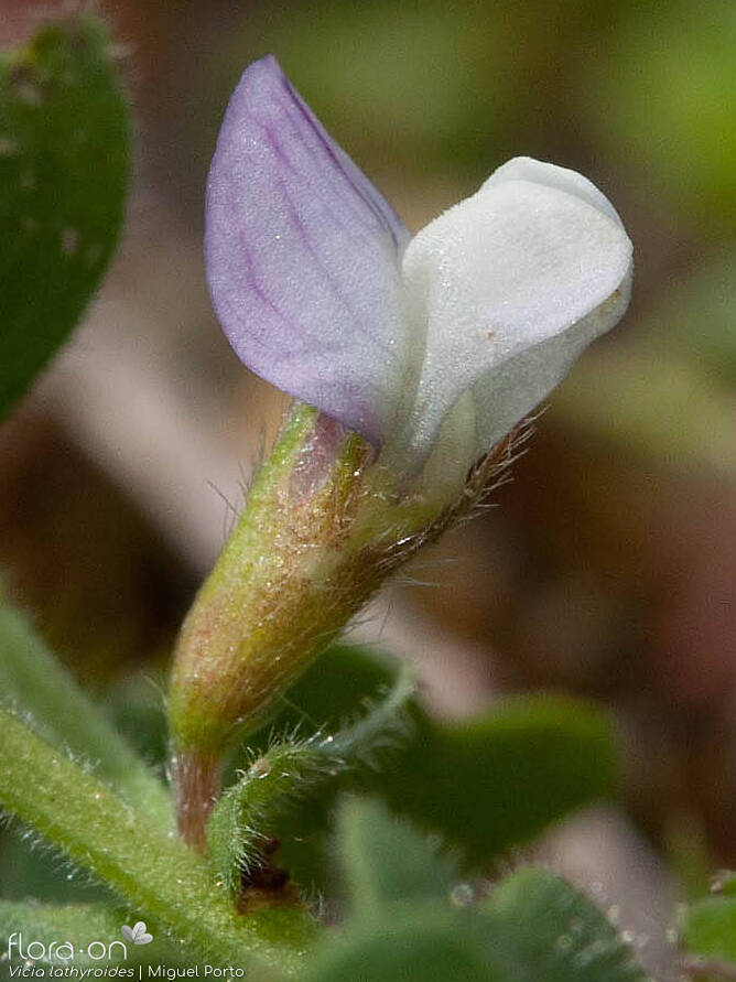 Vicia lathyroides - Flor (close-up) | Miguel Porto; CC BY-NC 4.0