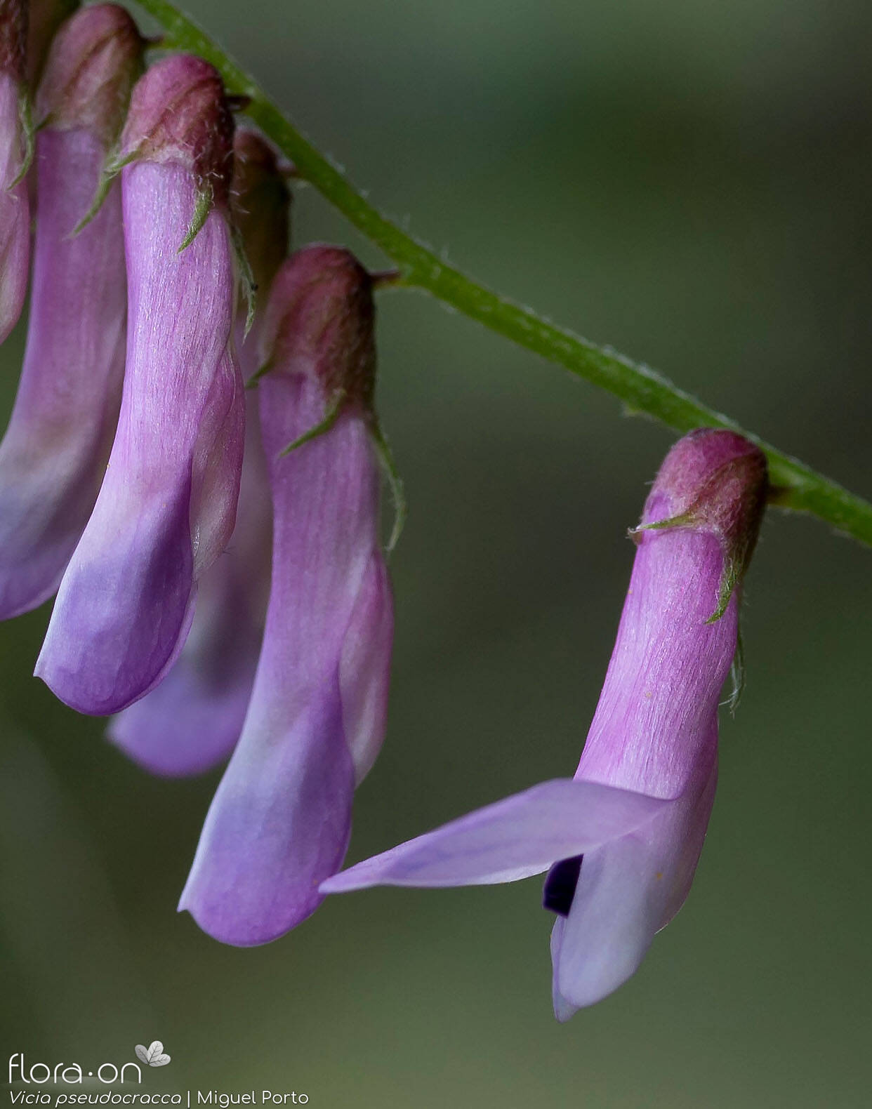 Vicia pseudocracca - Flor (close-up) | Miguel Porto; CC BY-NC 4.0