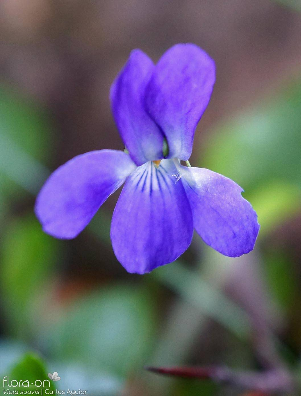 Viola suavis - Flor (close-up) | Carlos Aguiar; CC BY-NC 4.0
